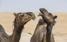Camels in Liwa desert stock photo