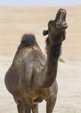 Camels in Liwa desert royalty free stock image