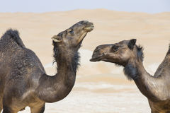Camels in Liwa desert Stock Images