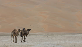 Camels in Liwa desert Royalty Free Stock Photo