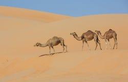 Camels in Liwa desert stock image