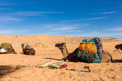 Camels with a load in the Sahara desert. Camels are loaded in the Sahara desert, Morocco royalty free stock images