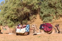 Camels with a load in Sahara desert. Camels are loaded in Sahara desert, Morocco stock photography