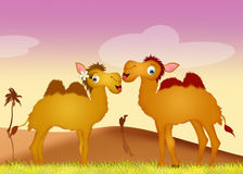 Camels in love. Illustration of camels in love in the desert Royalty Free Stock Photography