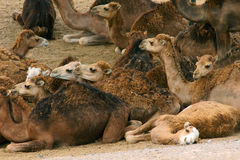 Camels lying Royalty Free Stock Photos