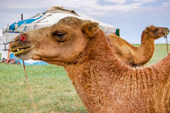 Camels lying in front of yurt Stock Photography