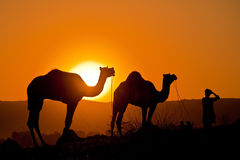 Camels with man at sunrise