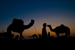 Camels with man at sunrise Royalty Free Stock Photos