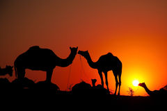 Camels with man at sunrise stock photography