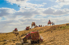 Camels. Many of the animals are gathered in the desert. The Arabian desert is famous for its beauty. Some of them are found under the foot of the pyramids stock photo