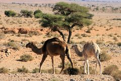 Camels in marocco Royalty Free Stock Photo