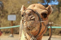 Camels in Maspalomas on Gran Canaria stock images