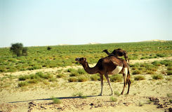 Camels, Mauritania Royalty Free Stock Images