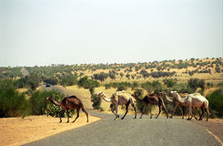 Camels, Mauritania Stock Photos
