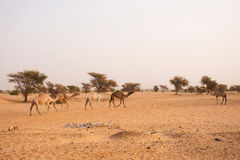 Camels in Mauritania Stock Photo