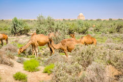 Camels in Merv. Photo of several camels feeding on greenery in Merv, Turkmenistan stock photos