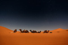 Camels in Merzouga dunes Stock Photography