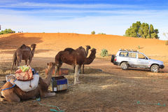 Camels in Merzouga. In Morocco royalty free stock photography