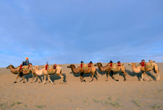 Camels at Mingsha Mountain Royalty Free Stock Photography