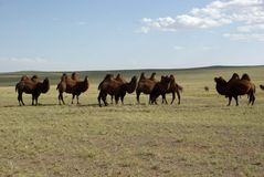 Camels, Mongolia Royalty Free Stock Images