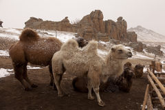 Camels in Mongolia Royalty Free Stock Photo
