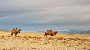 Camels in mongolian desert Royalty Free Stock Photo