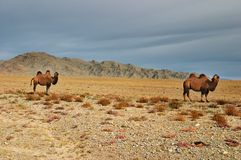 Camels in mongolian desert Stock Images