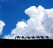 Camels in the morning. Stock Photos