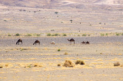 Camels on moroccan desert Stock Photo