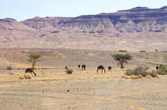 Camels on moroccan desert. Few camels on moroccan desert royalty free stock image