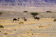 Camels on moroccan desert. Few camels on moroccan desert royalty free stock photo