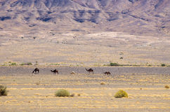 Camels on moroccan desert. Few camels on moroccan desert stock photo