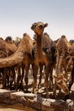 Camels on Moroccan Sahara stock photography