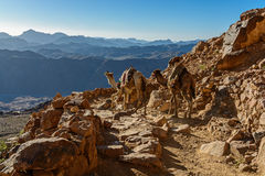 Camels on mountain trail on Moses mountain, Sinai Egypt. Mountains morning landscape near of Moses mountain, Sinai Egypt - sunset Stock Photos