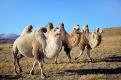 Camels on mountains. Altai camels on mountains summer Stock Images