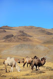 Camels on mountains. Altai camels on mountains summer Royalty Free Stock Images