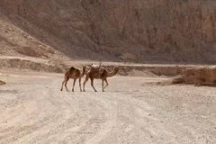 Camels of mountains Stock Photo