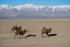 Camels with the mountains royalty free stock images