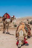 Camels in nabatean city of  petra jordan Royalty Free Stock Photography