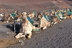 Camels in the national park in Lanzarote Royalty Free Stock Photography