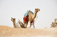 Camels in nature. Image, two camels in the sand Royalty Free Stock Images