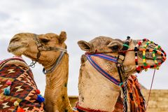 Camels near the great pyramids in Giza, Egypt. Camels near great pyramids in Giza, Egypt stock photography