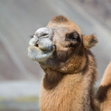 Camels in the Nubra Valley Royalty Free Stock Images