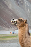 Camels in the Nubra Valley Royalty Free Stock Photos