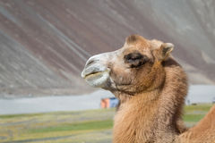 Camels in the Nubra Valley Royalty Free Stock Image