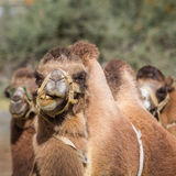 Camels in the Nubra Valley Stock Photo