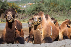 Camels in the Nubra Valley Stock Photography