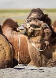 Camels in the Nubra Valley Royalty Free Stock Photo