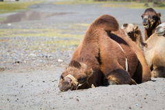 Camels in the Nubra Valley Royalty Free Stock Photography