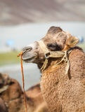 Camels in the Nubra Valley Stock Photos